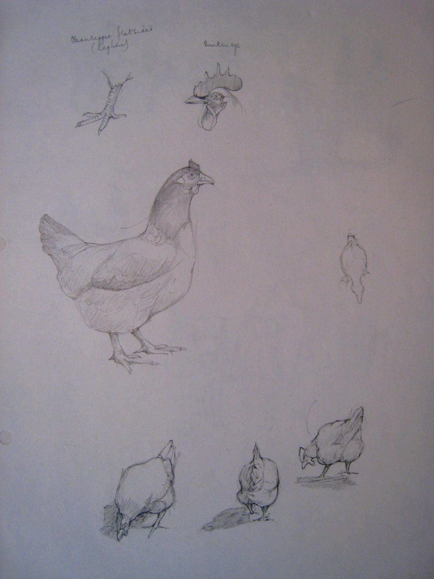 APM Chickens